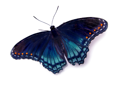 Papillon bleu et orange
